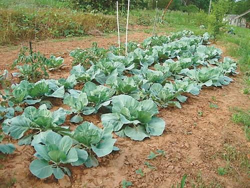 Време е да засадите най-късните зеленчуци