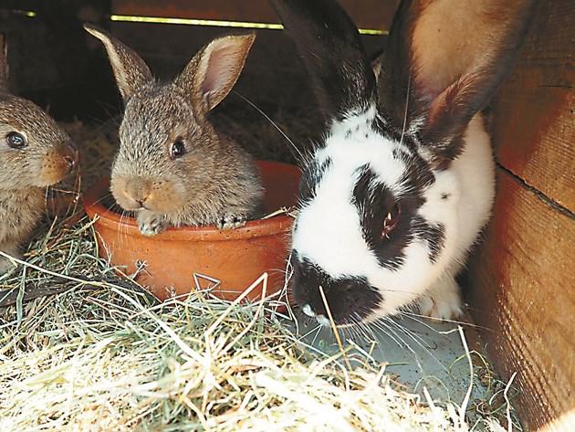 Чистете хранилките и поилките в зайчарника всеки ден