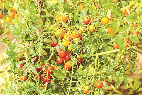 Вода за доматите - с капково напояване