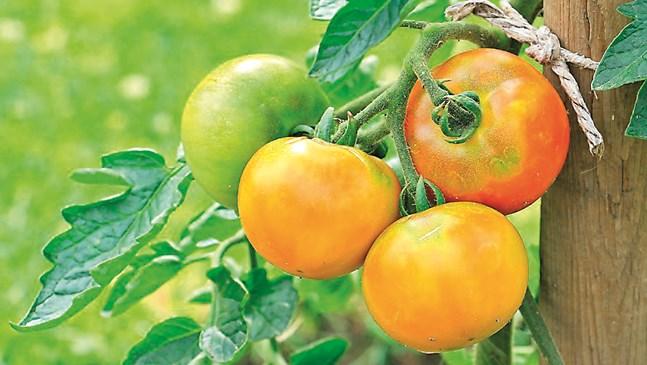 Бели и черни петна по доматите