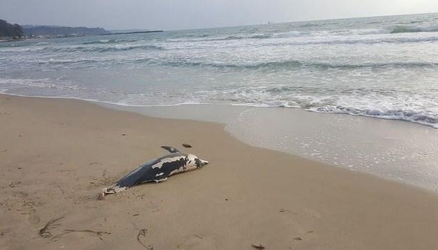 Труп на делфинче на плаж
