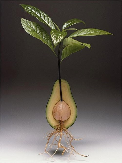 Авокадо у дома
