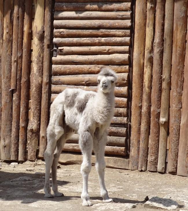 Бяло камилче Снимки: Зоопаркът във Варна