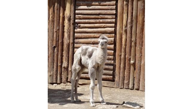 Бум на бели бебета в зоопарка на Варна (Снимки)