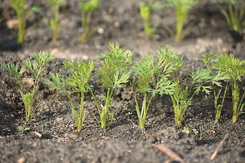 Морковите се сеят през няколко дни
