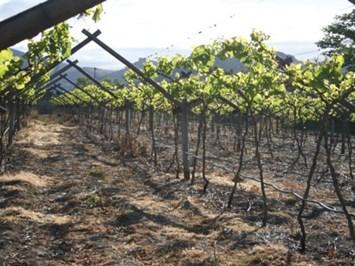 До 20 юли лозари събират реколтата на зелено