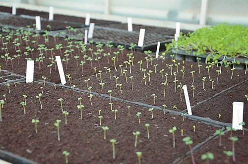 Сеитба на ранни домати