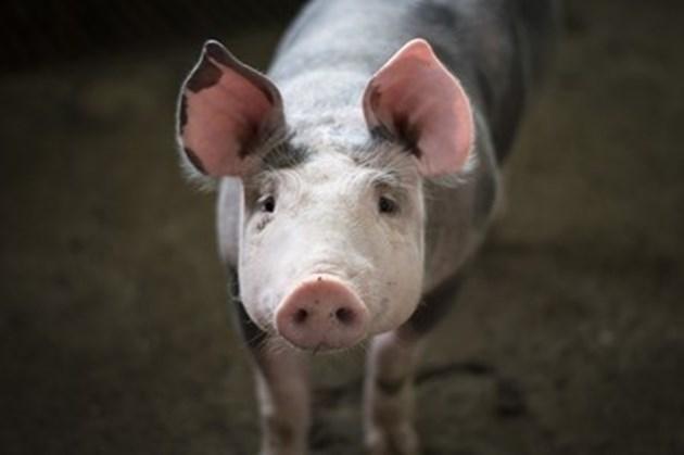 Очаква се спад в световното производство на месо заради чумата по свинете