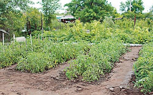 Отглеждане на домати чрез директна сеитба