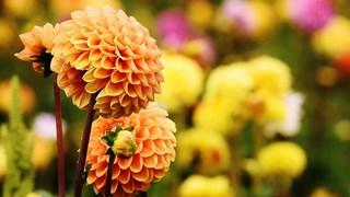 Кои цветя се садят през есента