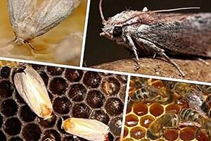 Опазването на пчелните семейства от восъчния молец зависи изцяло от пчеларя. Той трябва да поддържа само силни пчелни семейства, да сменя редовно старите пити.