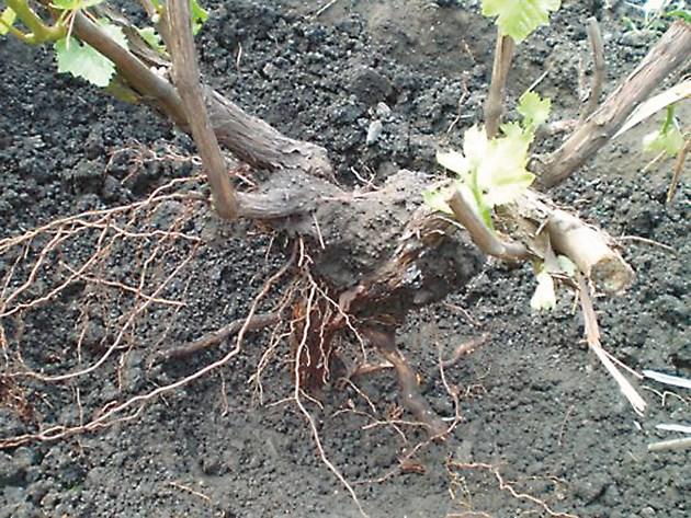 Премахнахте ли росните корени