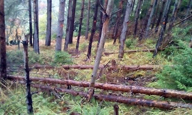 Нападалите загниващи дървета, от които пенсионерът инвалид искал да си нареже за огрев.