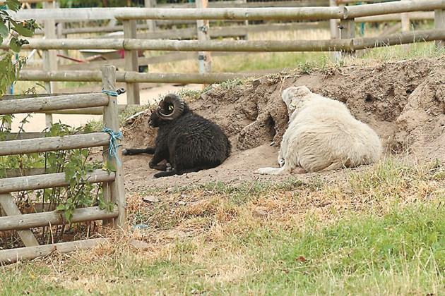При високи температури овцете се пасат сутрин и вечер. Неправилно е кочовете да изминават заедно с овцете големи разстояния, а да се отделят от тях.