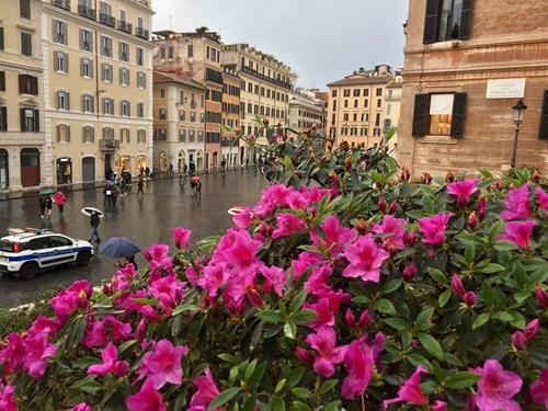 250 азалии разцъфнаха над Испанското стълбище в Рим