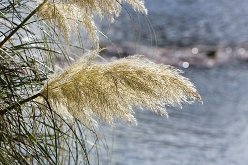 Декоративните треви преди зимата