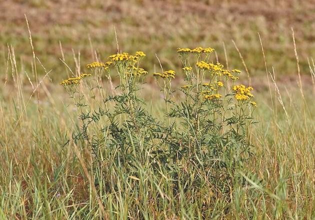 Ако не искате да поемате излишни рискове, но все пак да използвате билката като инсектицид, разходете се до близките ливади през лятото. Там ще я намерите в цялата ? прелест. Снимки: Pikist.com