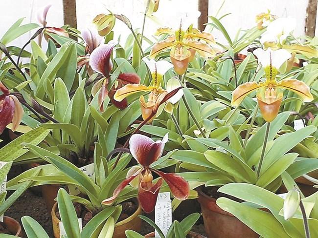 """Орхидеи """"Пантофка"""" от Ботаническата градина на БАН. Снимка: Гергана Младенова"""