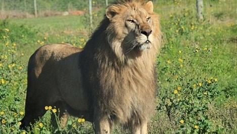 Българските лъвове Блеки и Жора се установиха в новия си дом в Южна Африка