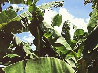 Как да предпазим банановото растение от зимата