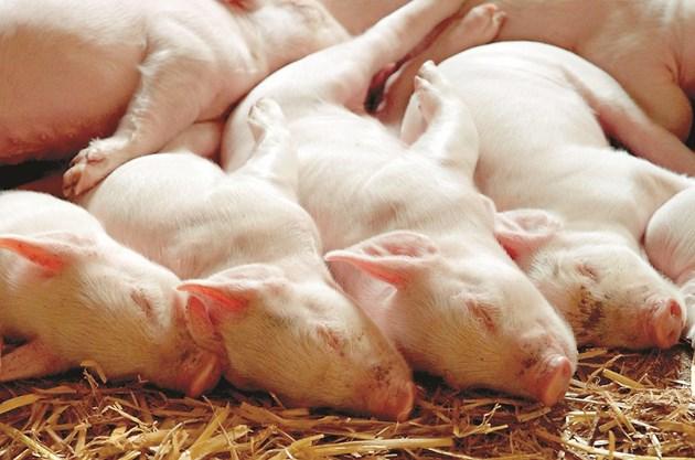 Новите генетични линии свине изработват почти с 20% повече топлина в сравнение с животните, отглеждани в началото на 1980 г.