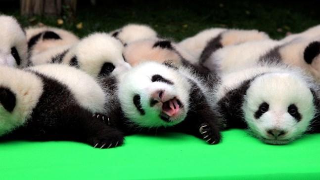 Вижте тези 23 прекрасни бебета панди (галерия)