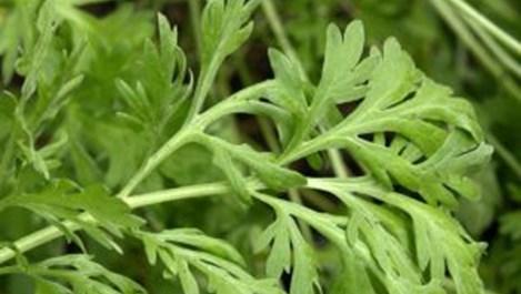 80% от всички съществуващи болести се лекуват с билки