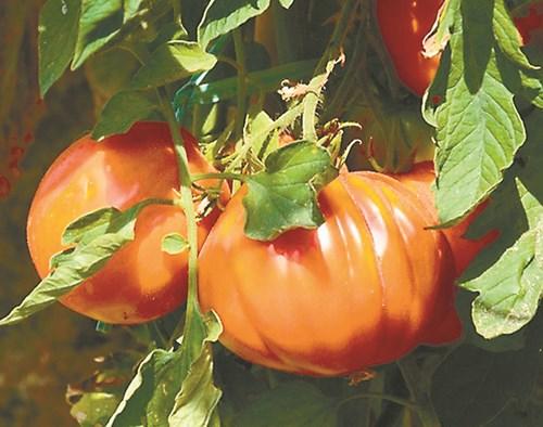 Семена от градината