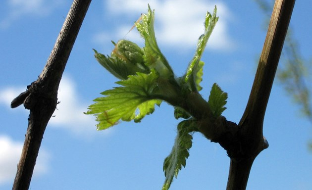 С пукването на пролетта и първите пъпки някои лози сами се издават дали са гладни или преяли, но анализът е най-правилното нещо