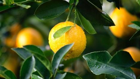 Необичайните употреби на лимонените кори в домакинството