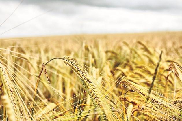 За да си осигури част от фуражите, фермерът обработва и 183 ха земеделски земи, върху които отглежда пшеница и ечемик, като в сеитбооборота включва и рапица, овес и ръж.