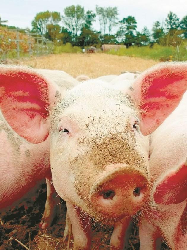 На всеки две седмици фермата за доугояване се зарежда с прасета с тегло 31,8 кг от местен месопроизводителен клон