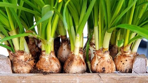 Последни, но важни грижи за луковичните цветя