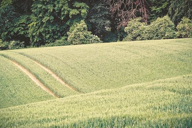 За пшеницата през пролетта има сериозна опасност от икономически важни болести, които могат да редуцират добивите