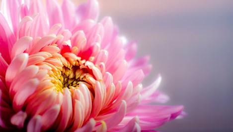 Хризантемата - кралицата на есента