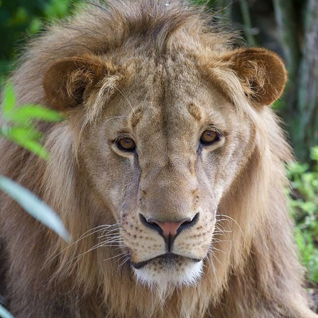 Лъвчето Масуд влиза в университет