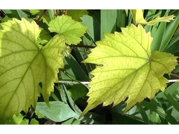 Листното подхранване помага срещу хлорозата