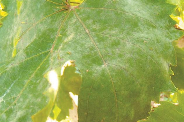 Борбата с брашнестата мана започва при дължина на летораслите 4-7 сантиметра