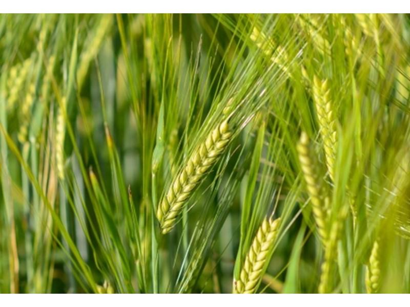 Родни базови семена от пшеница на пазара у нас | Агробизнес ...