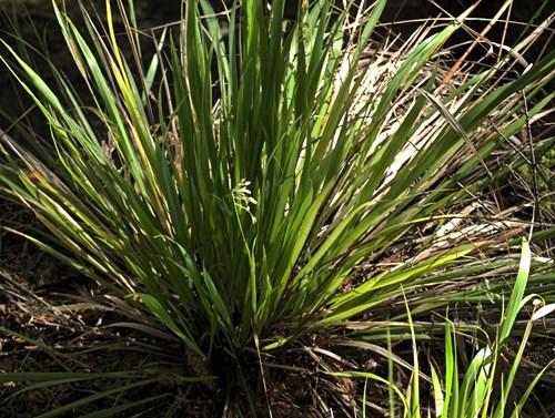 Трева с аромат на ванилия
