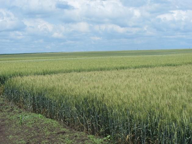 Опазването на житните посеви от вредители е в основата за получаване на по-високи добиви и качествено зърно Снимка: Ваня Велинска
