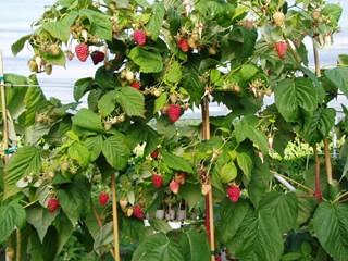 Грижи за ягодите и малините през юли