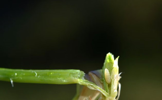 Ларва на житна муха в стъбло на житно растение
