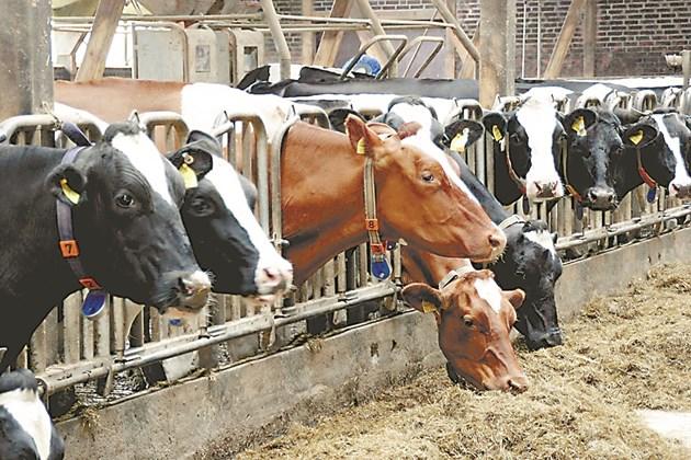 Експертите препоръчват хранителните отпадъци да се смесват старателно с останалите фуражи за млечни говеда, за да се осигури равномерен прием.