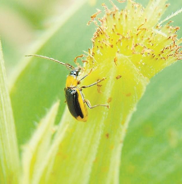 Бръмбарите се хранят с полета и свилата Снимка: Singenta