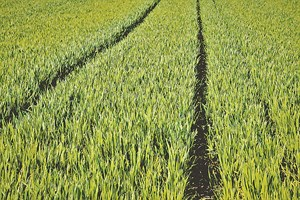 Важно е посевите да се опазят чисти от плевели, които в момента са сериозен конкурент на пшеницата за храна и вода