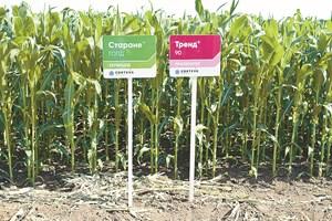 СТАРАНЕ ГОЛД се използва и при царевица за зърно и силаж, като контролира всички икономически важни широколистни плевели