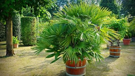Как да предпазим палмите от измръзване