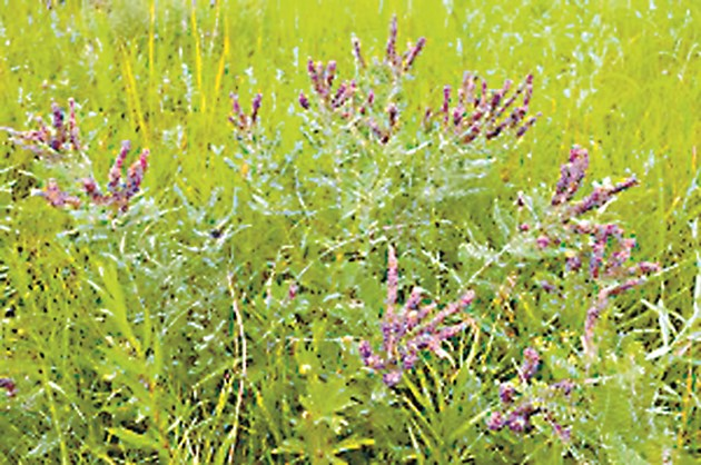 Пчелите масово посещават цветовете на храстa аморфа, като събират главно нектар и по-малко прашец.