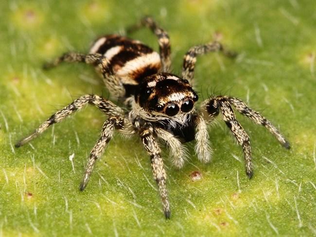 Арахнофобия (страх от паяци) – Факт е, че хората най-много се страхуваме от паяци. Когато са малки, ние не виждаме детайлите от тяхната структура и това е малко по-успокояващо, но е факт, че именно малките видове са онези, които са най-отровни. При големите разновидности на животинката можем спокойно да отличим безбройните очи, косматите крачета и големи зъби, с които паяците нападат плячката си. А мисълта, че можем да се оплетем в паяжината на тази земна твар, е нещо